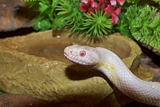 do corn snakes swim in the wild?