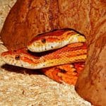 Can Corn Snakes be Kept Together?