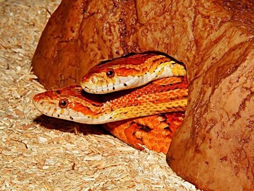 several corns snakes living together