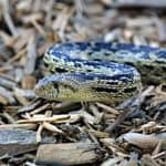 Gopher Snake Care