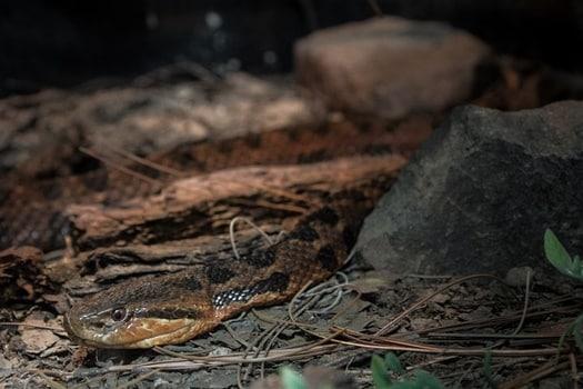 how often do snakes poop?