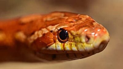 How Often Do Corn Snakes Shed Their Skin?