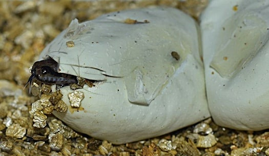 how do snakes give birth