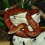 Why Do Corn Snakes Rattle Their Tails?