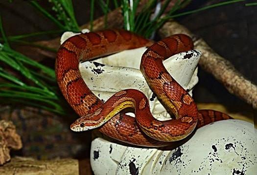 corn snake mimic rattlesnake
