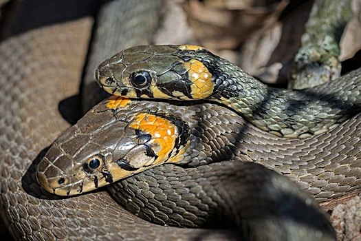 how do snakes attract mates?