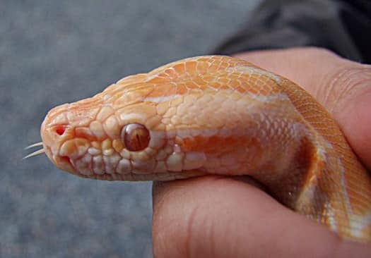 corn snake handling advice