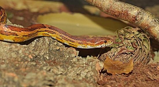 do corn snakes like baths?