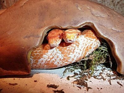 can two female corn snakes live together?