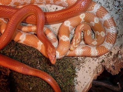 corn snake eating habits