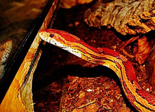 can corn snakes eat fish?