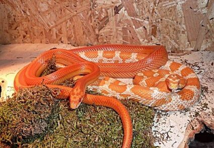 corn snake rattling tail while eating