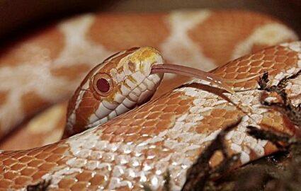 corn snake shedding problems