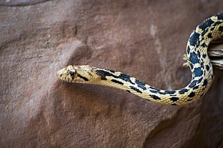 what do gopher snakes eat?