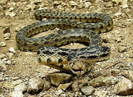 when do gopher snakes hibernate?