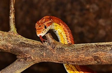 should I get a male or female corn snake?