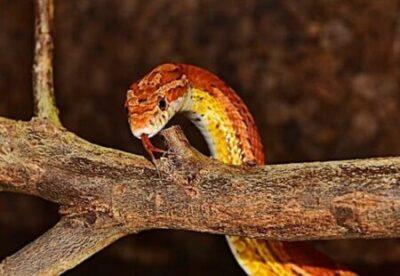 male vs. female corn snake temperament