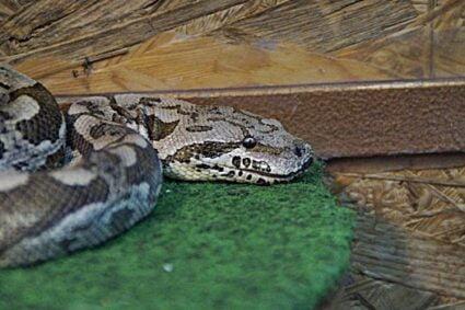my snake won't poop