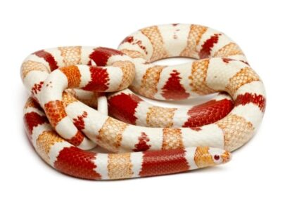 Albinos Honduran milk snake