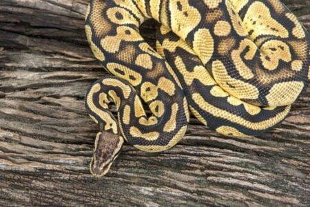 Are Ball Pythons Venomous?