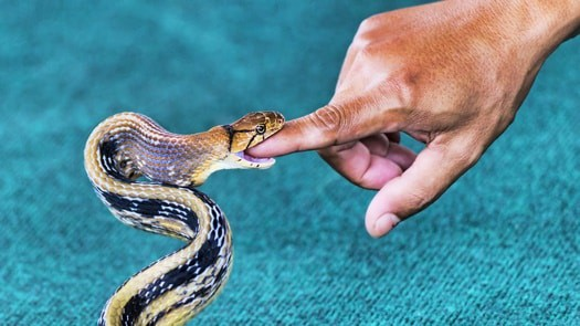 which pet snake is least likely to bite?