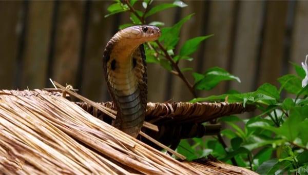 Fun King cobra facts