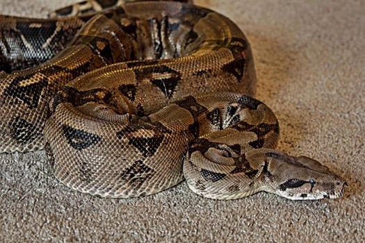 how big do Boa Constrictors get?