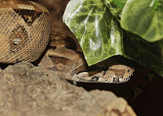 Is a boa constrictor a good first snake?