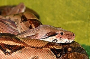 Boa Constrictor for Pets