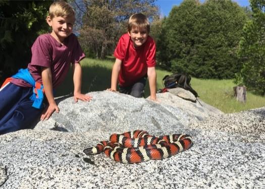 are California Kingsnakes poisonous?