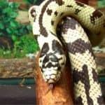 Interesting California Kingsnake facts