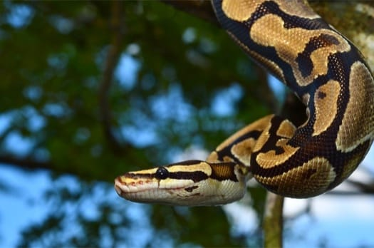 Can Ball Pythons Hear Sound? — Snakes for Pets