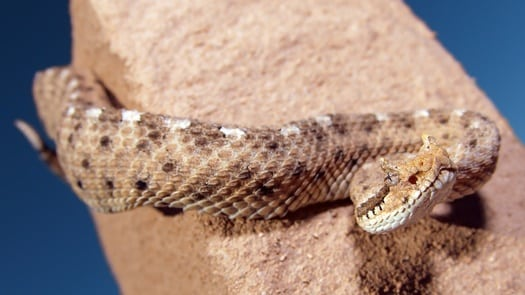 how high can rattlesnakes climb?