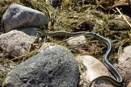 Can a garter snake hurt you?