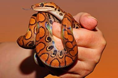 Corn Snake Care Guide