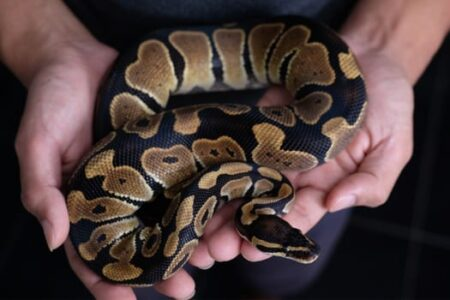 How to tell a Python and Boa Constrictor apart