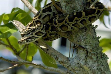 Do Ball Pythons Have Good Eyesight?