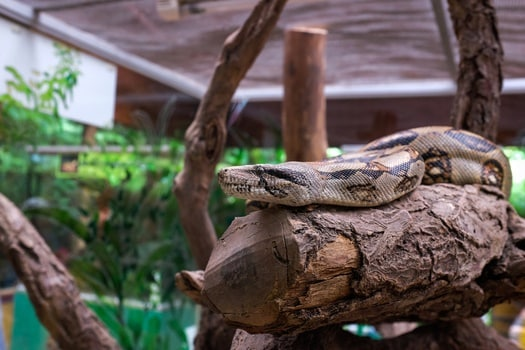 when do boa constrictors breed?