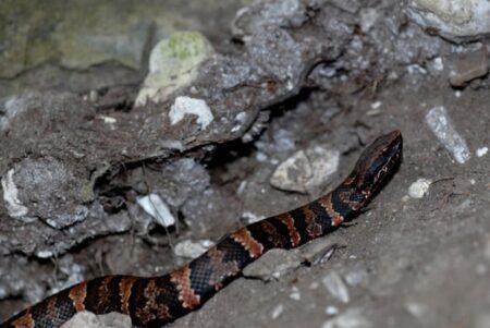 how long do snakes hibernate?