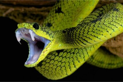 Do snakes lose their teeth when they bite?