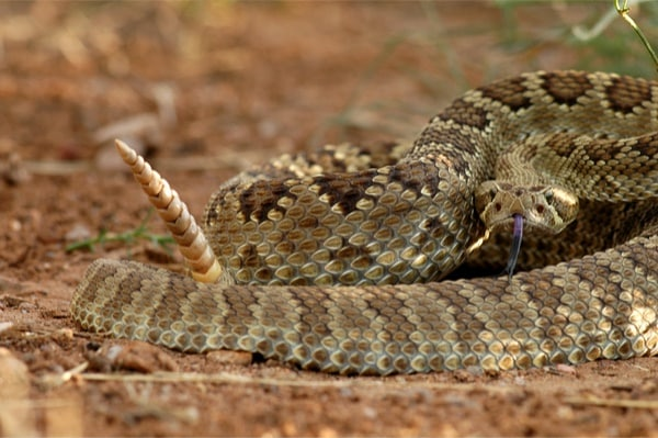 snakes that mimic the rattlesnake