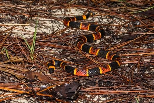 types of venomous snake in America