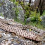 Gopher Snake Fun Facts