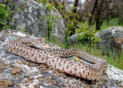 Gopher Snake Fun Facts