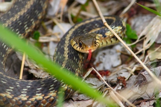 Garter Snakes As Pets
