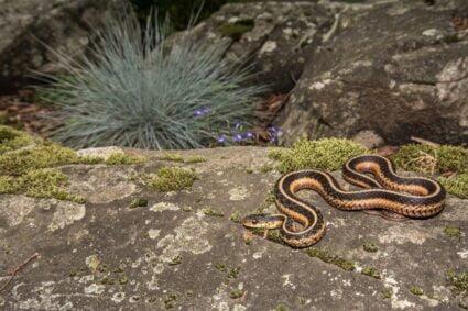 Garter Snake substrate