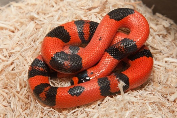 What Types of Milk Snakes Make Good Pets? — Snakes for Pets