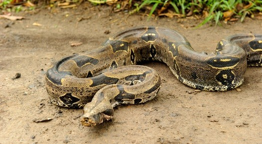 what the average weight of a boa constrictor?