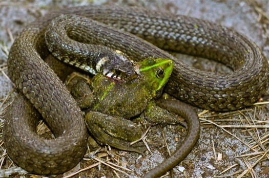 how do snakes attack their prey?