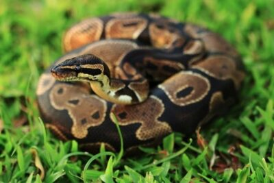 Ball python life expectancy